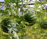 Выращиваем Арбузы в теплицах.