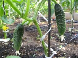 Полезные советы по выращиванию огурцов в теплице.